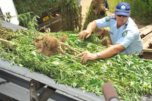 Police have seized 2300 cannabis plants in the third raid of its kind this year.