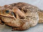 This female cane toad can lay 20,000 eggs a year.
