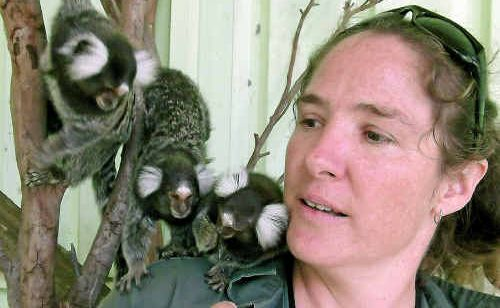 Darling Downs Zoo co-owner Stephanie Robinson plays with some marmosets that have been missing regular visitors since the zoo was cut off by floods in December.
