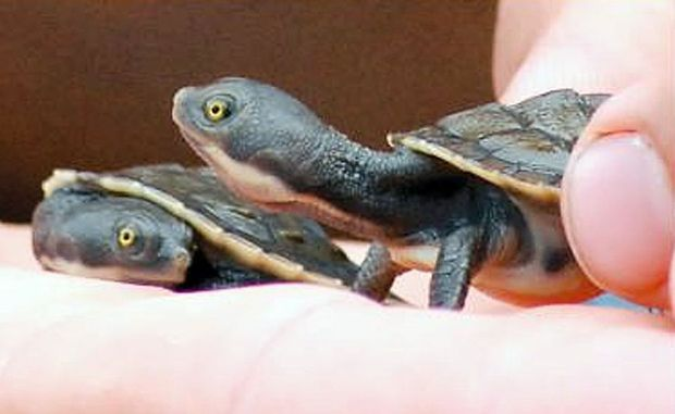 The tiny turtles that were born at the Pet Porpoise Pool.