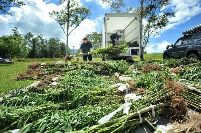 Police destory a cannabis crop at Thora mill.