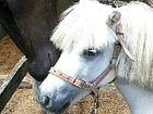 Shetland pony Elf has struck up a friendship with thoroughbred Seqsea George while recovering from cruel abuse.