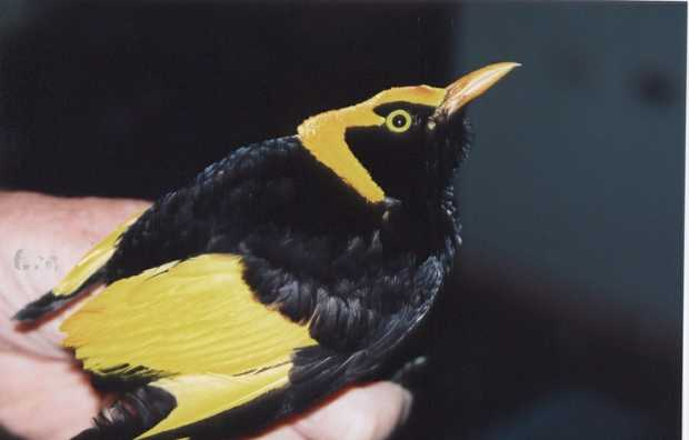 A male regent bowerbird was rescued from the mouth of a cat and released after its recovery in WIRES care.