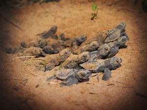 We Were There - Mon Repos Turtles