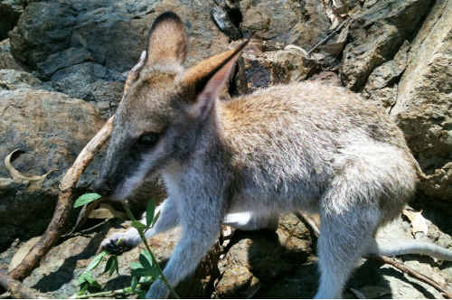 HELP FIND ZADA: The nine-month-old agile rock wallaby went missing from her Hibiscus Cres home at Blackwater in the early hours of yesterday morning. cont