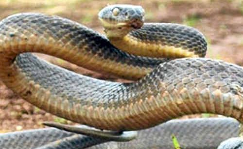 An Eastern Brown snake. With the flood waters receding and cleanups underway, residents are being warned to be alert to increased numbers of snakes.