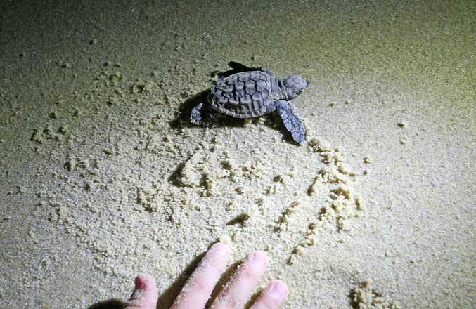 Turtles hatch on Point Cartwright beach, bringing people out to watch as they made their way to the water.