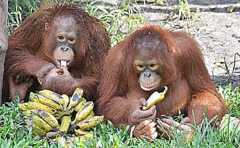 Feeding time at Nyaru Menteng.