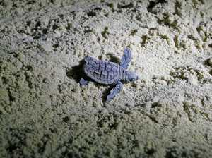 Cute Turtle hatchling heading to the ocean