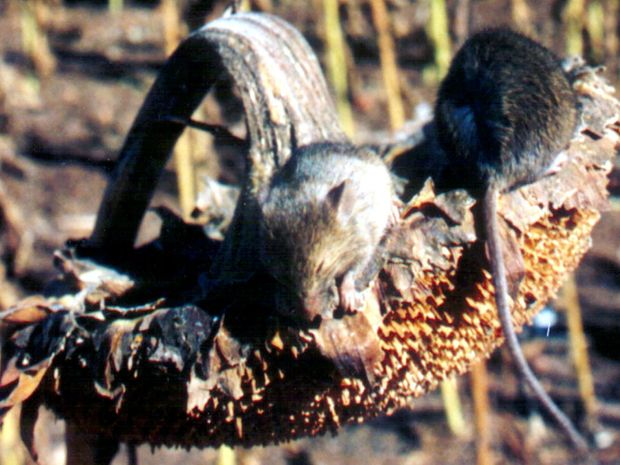 An invasion of mice is causing headaches for farmers on the Maranoa.