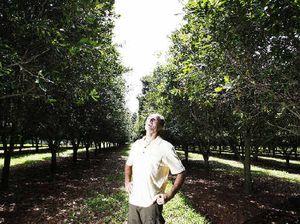 Queensland macadamia crop building a good recovery