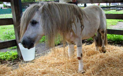 This Shetland pony received serious injuries to its hooves, legs, knees and chest when it was dragged behind a car at Murphy's Creek.