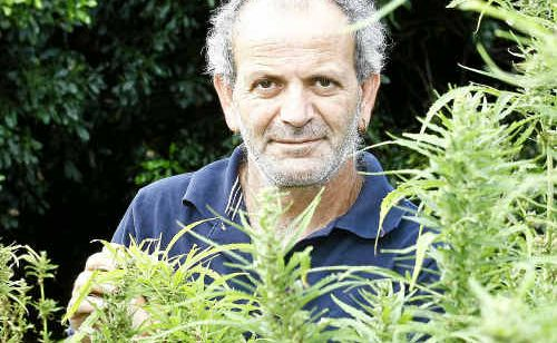 Hemp farmer Andrew Kavasilas inspects his crop. Mr Kavasilas is excited by news the Food Standards Authority of Australia and New Zealand is considering an application to permit food derived from hemp.