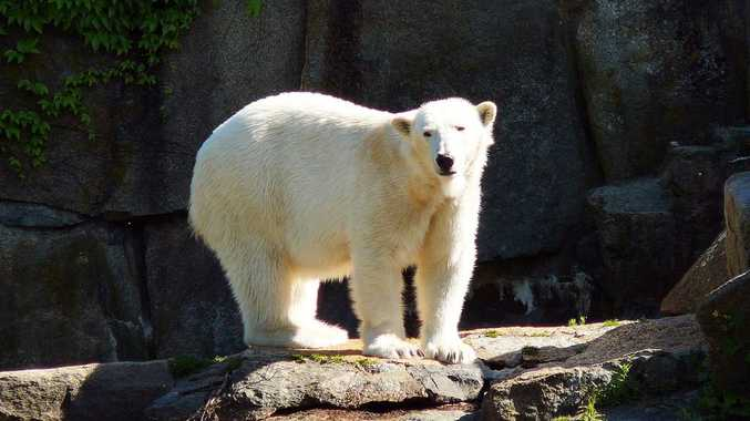 World-famous polar bear Knut.