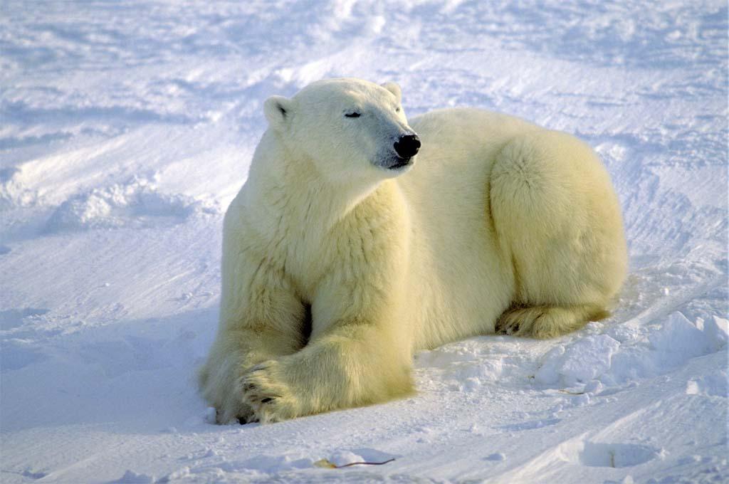 Schoolboy was dragged to his death by a polar bear