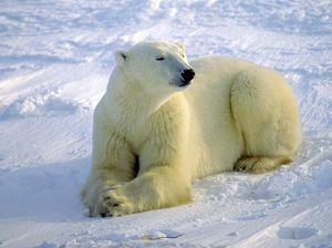 Polar bear drags schoolboy to his death