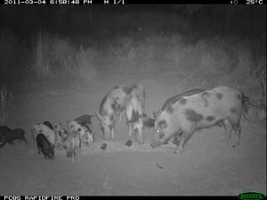Feral pigs breeding like rabbits