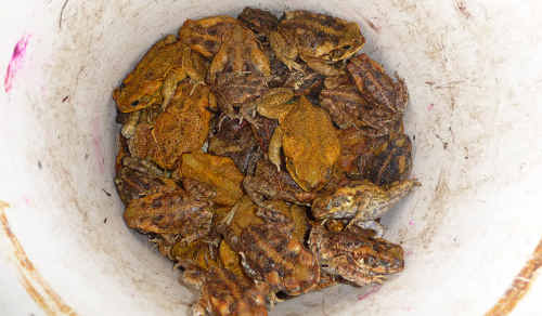 A collection of cane toads collected from last year's round-up. Now they pose a bigger threat.