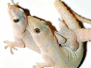 The Sunshine Coast's gecko population has swelled as the quick-footed fellows hit peak breeding season in summer.