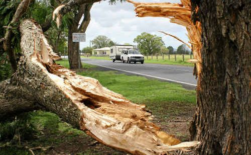 A jacaranda snapped in two by Saturday's mini-hurricane on the Pacific Highway at Ulmarra.