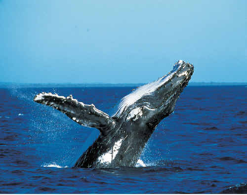 Whale watching has been included in Australian Traveller magazine's top 100 things to do.