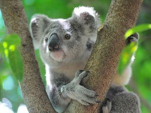 Coast home to new koala habitat