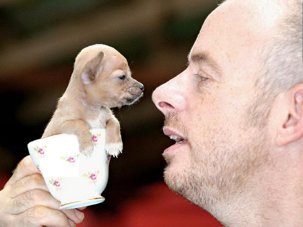 Bubble, the dwarf teacup chihuahua, listens intently as Darren Levell has a quiet word with her yesterday.