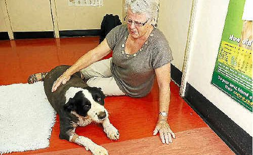 Jan Cody, of Nashua, visiting Hamish, her 10-year-old border collie, at the Alstonville Veterinary Hospital where he is recovering from injuries received after being attacked by wild dogs yesterday morning.