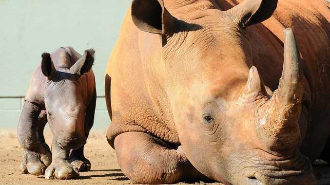 Australia Zoo's rhino calf.