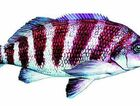 The banded morwong is being used as a barometer to gauge increases in ocean temperatures.