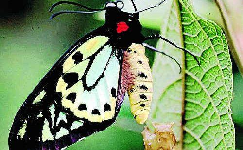 A Richmond Birdwing butterfly.