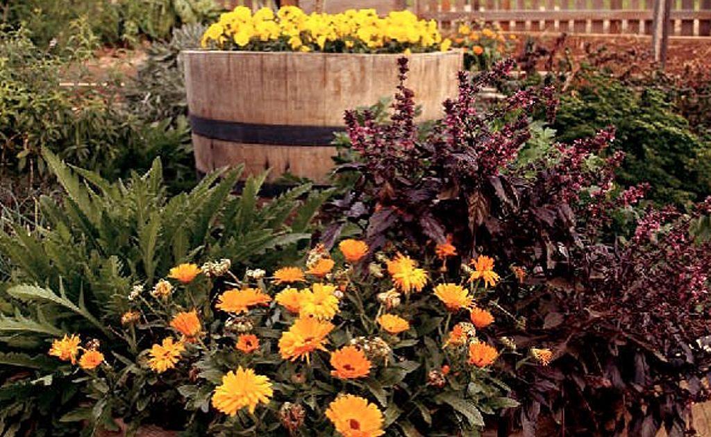 Herb garden, including purple basil and calendula.