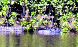 This three-metre crocodile was seen by Kate Pelling and her family while in a boat at Corio Bay on Saturday.