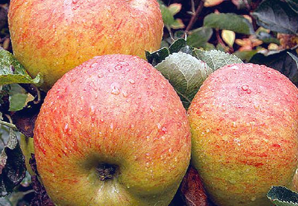 All apple varieties are sensational this time of year.