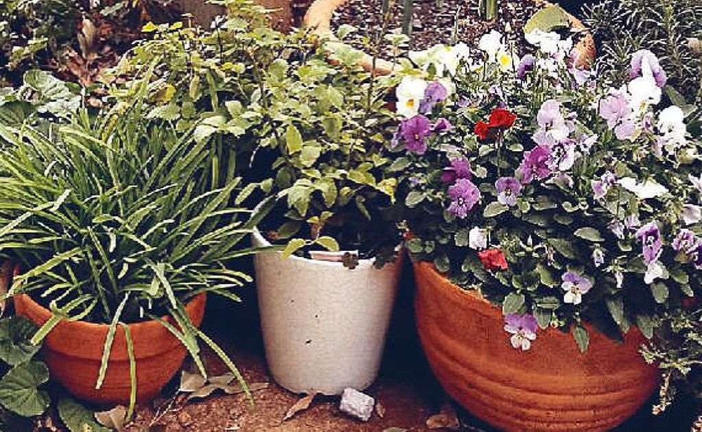 In summer, container plants need watering, fertilising and should be monitored for pests and diseases.