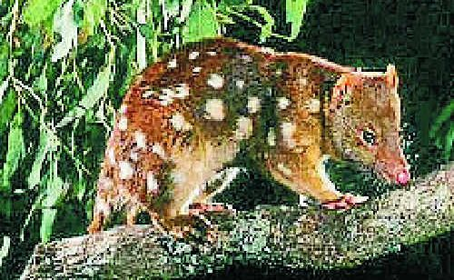 The Spotted-tailed quoll.