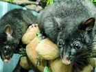 Brushtail possum twins in a purpose-built enclosure designed to help with them being released into the wild.