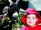 Henry Norman Brown, 4, with Lucy the goat, is ready for the market day at Bush Kidz Day Care. Photo: Claudia Baxter