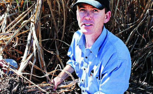 Koumala grower Rob Sluggett shows the damage caused to cane by the grey-back cane grub. Mr Sluggett is trialling new GPS technology to more effectively target the problem on his farm.