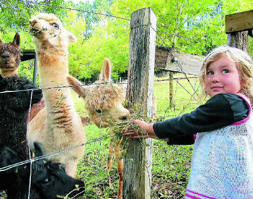 Jade McCarthy-Bache with some of the alpacas on her father Peter's MiaJai Alpacas stud at Pearces Creek.