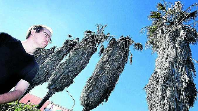 """Darren Metcalfe is worried about dead and dying palm trees on Yaamba Rd. Mr Metcalfe says the trees are a key part of the streetscape and have been there more than 30 years. """"Malicious poisoning"""" has been mentioned as one possibility for the trees' condition."""