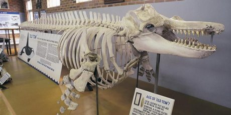 The skeleton of Tom, an orca who would help whalers round up their prey in return for his share of the feast, resides in the Eden Killer Whale Museum.