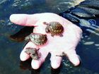 Big day for little turtles
