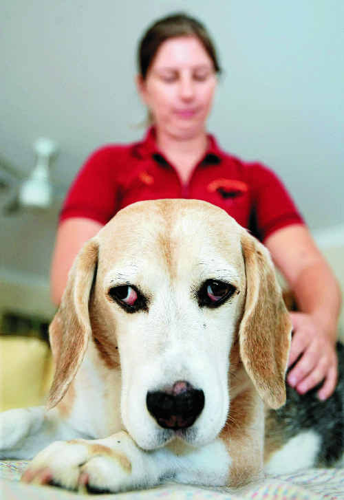Ben the beagle pictured with pet acupuncture/physio Sue Vacher.Photo: John Gass TWE250511petacu