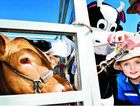 Ryley Davis, 3, of Evans Head, gets up close to Twitch the cow at the Beef meets the Reef at Evans Head.