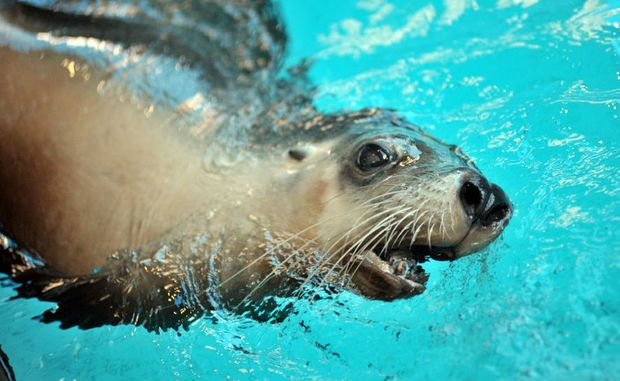 The seals are a popular attraction at Mooloolaba's Underwater World.