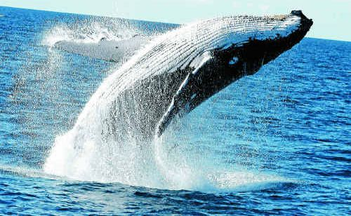 A whale at play at Hervey Bay.