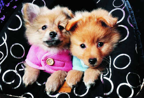 Pomeranian puppies at Top of Town Pets rug up for the first day of winter.