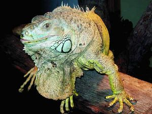 Dumped iguana rehoused at zoo