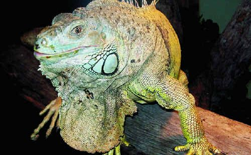 This green iguana is settling in at Darling Downs Zoo.